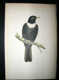 Morris 1870 Antique Hand Col Bird Print. Ring Ouzel